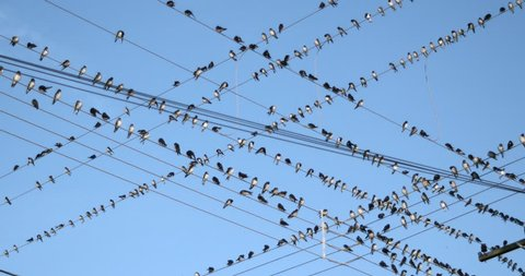 Birds On A Wire, A Flock Of Birds In A Large Swarm