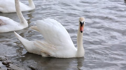 Swans near the banks of the Danube river in Belgrade close-up.