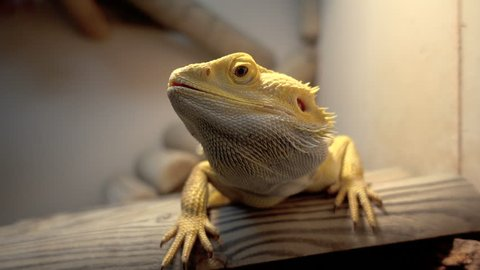 Agama lizard, bearded dragon in terrarium on wooden branch