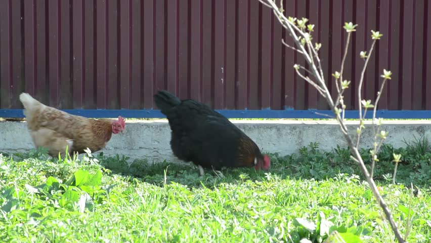 Red hens and black rooster are walking on the meadow dig worms preen their feath