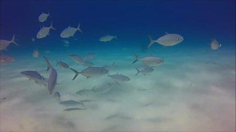 Hammerhead Shark Swimming Towards Camera in Crystal Clear Blue Ocean of Bimini, Bahamas