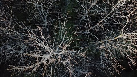The branches of the dead tree in the middle of the forest look from the top like a nervous system. Shooting to the drone.