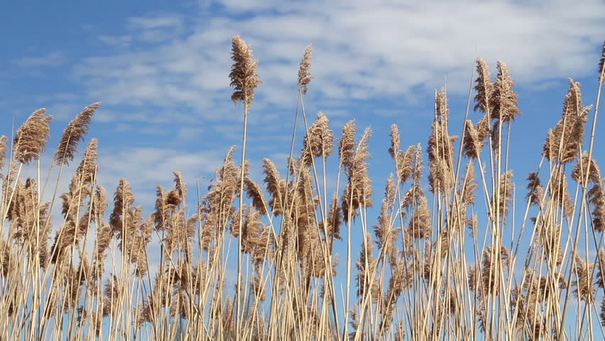 Common reed Phragmites australis over a blue sky summer day  waving in the wind footage no audio