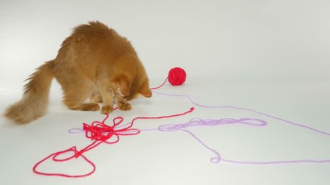 Two Somali Cats playing with yarn