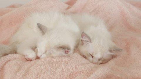 Sleeping Ragdoll Kitten Stock Footage Video (100% Royalty