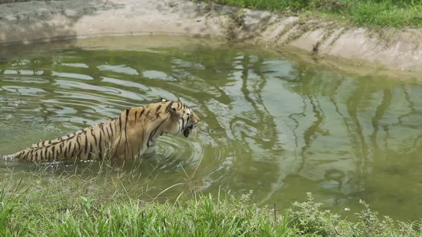 The tiger enters the swamp. The tiger floats in the water. Tigress rests in the water.
