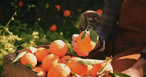 Close-up of farmer holding and checking orange harvest from orange trees orchard in the Mediterranean