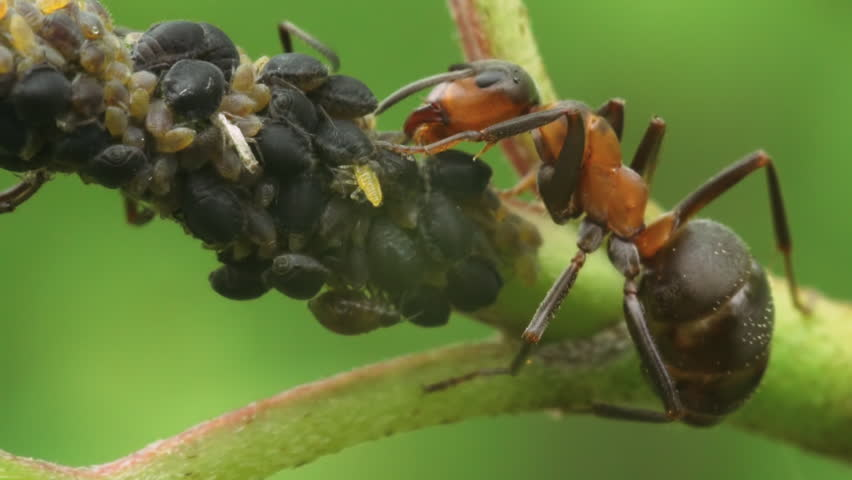 Ants (Woodant, Formica rufa) eat the honeydew secreted by aphids. Macro footage.