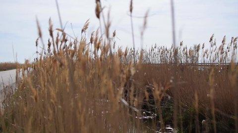 wind in ravenna grass