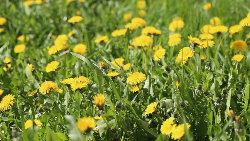 Spring field with yellow dandelion flowers | Shutterstock HD Video #1011167126