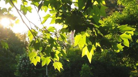 Close-up beautiful sunlight through green foliage that rustles on tree