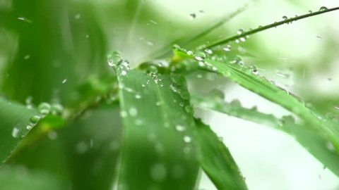 View footage Rain drops into bamboo leaf,  Slow motion