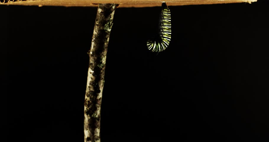 Time lapse of the complete metamorphosis of a monarch caterpillar/butterfly. Caterpillar makes chrysalis and then hatches into a butterfly. | Shutterstock HD Video #1011287186
