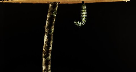 Time lapse of the complete metamorphosis of a monarch caterpillar/butterfly. Caterpillar makes chrysalis and then hatches into a butterfly.