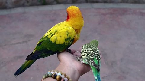A Sun parakeet or Sun conure (Aratinga solstitialis) and Budgerigar  (Melopsittacus undulatus) Parrots are holding and eating seeds on lady hand.