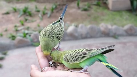 Small lovely Budgerigar Parrots (Melopsittacus undulatus) eating seeds  in lady hand.