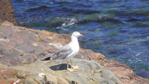 Seagull on the shore of Black sea, Sozopol, Bulgaria