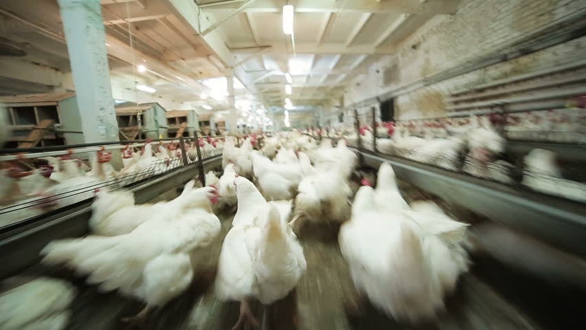motion above white running hens in corral at farm