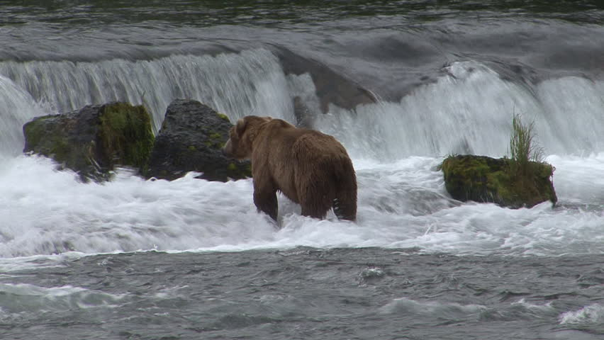 Brown Bear Adult Lone Standing Looking Around in Summer in Alaska