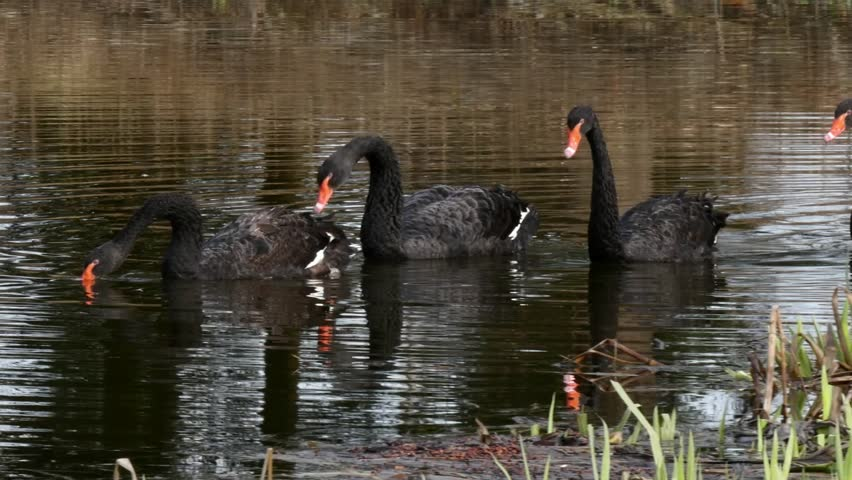 A flock of black swan swims in the summer on the mirror surface of the pond in the park in search of food. Birds in the wild nature. | Shutterstock HD Video #1011392636