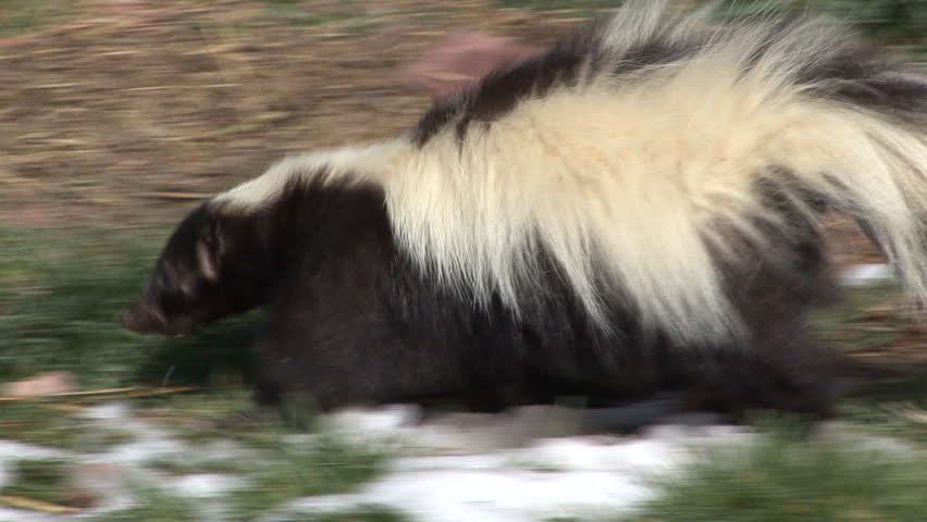 Striped Skunk Adult Lone Foraging in Spring