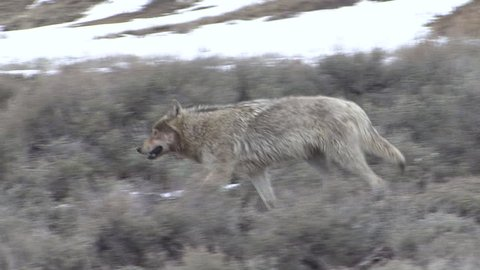 Wolf Adult Lone Walking in Spring Druid Pack in Wyoming
