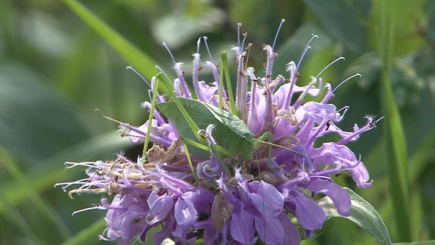 Katydid Adult Lone Resting in Summer in South Dakota