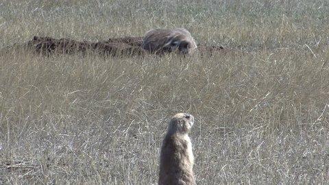 Badger Adult Lone Hunting Foraging in Spring Alarm Call Danger Predator Prey Barking in South Dakota