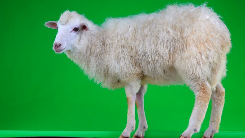 sheep stand on the green screen   Shutterstock HD Video #1011465446