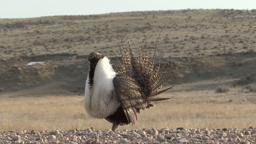 Sage Grouse Male Adult Lone Breeding Dancing in Spring in Wyoming