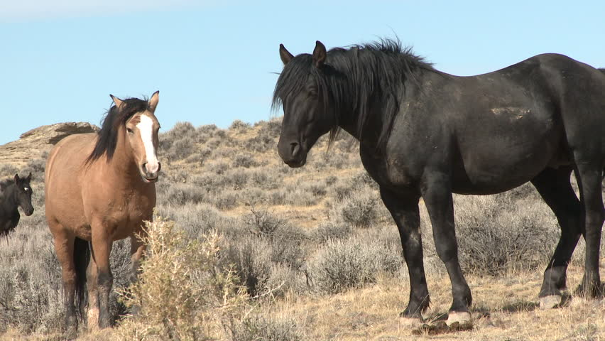 Horse Adult Herd Standing in Fall Wild Feral Bureau Of Land Management Public Land American West in Wyoming #1011474746