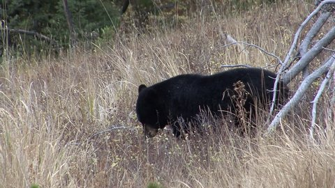 Black Bear Adult Lone Standing in Fall in Wyoming