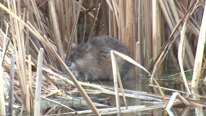 Muskrat Adult Lone Scratching Itching. Rubbing in Spring in South Dakota