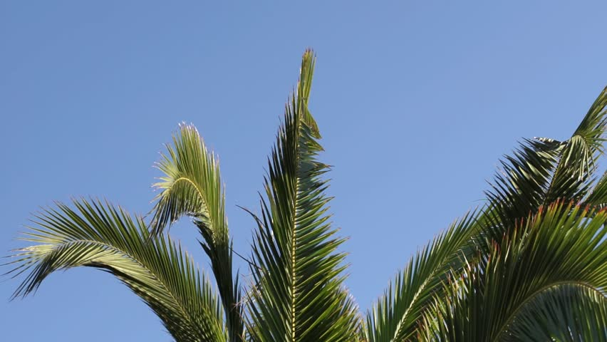 Palm tree leaves at slow motion against blue sunny sky  | Shutterstock HD Video #1011483236