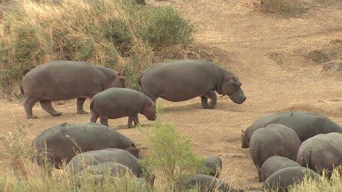 Hippopotamus Adult Young Calf Herd Walking Dry Season in South Africa