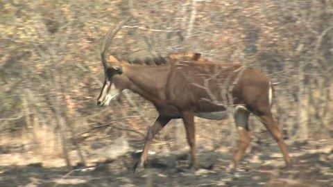Muskrat Adult Lone Eating in Winter in South Dakota