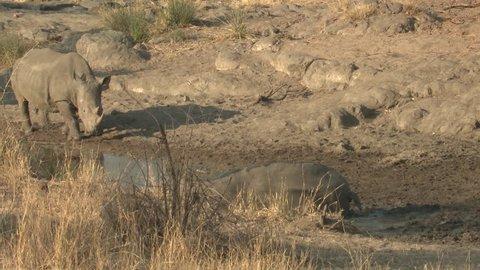 White Rhinoceros Bull Male Adult Pair Bathing Rolling Around Dry Season Muddy Bath in South Africa