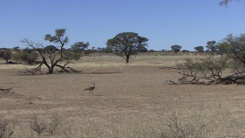 Kori Bustard Adult Lone Walking Dry Season in South Africa