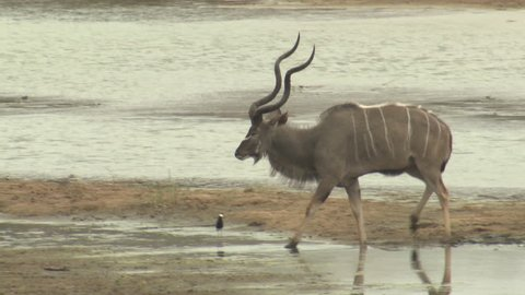 Greater Kudu Bull Male Adult Pair Walking Dry Season Long Curled Horns Majestic in South Africa