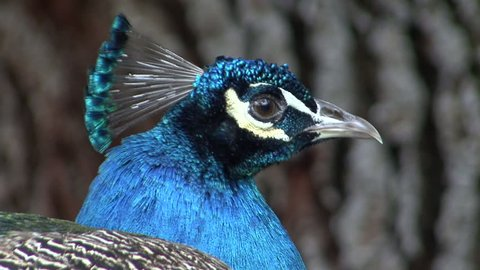 Indian Peafowl Male Adult Lone Looking Around Beak Face Eyes Feathers