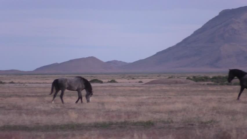 Majestic Wild Horses in the Utah Desert