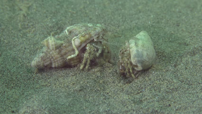 Small hermit crab (Diogenes pugilator): a short skirmish between two crayfish on a sandy bottom.