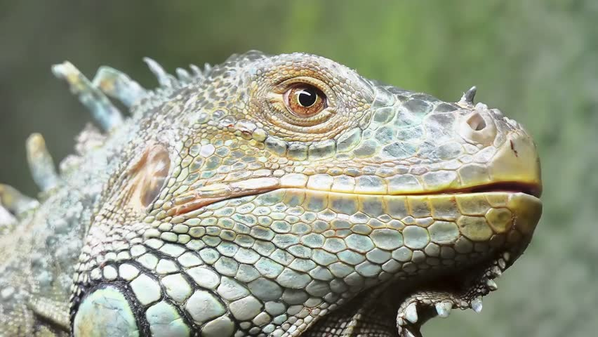 Cinemagraph loop: Green iguana, also known as American iguana, is large, arboreal, mostly herbivorous species of lizard of genus Iguana. It is native to Central, South America, and Caribbean.