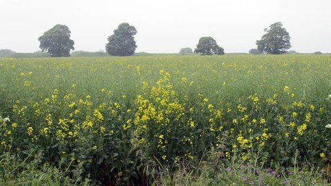 Field Of Yellow Flowers - Rapeseed Field, shallow depth of field