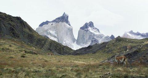 Guanacos grazing in torres del paine patagonia