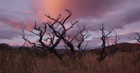 Dead tree from wildfire during sunrise in Torres Del Paine