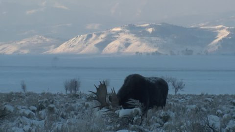 Moose Bull Male Adult Lone Eating in Winter in Wyoming