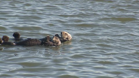 Sea Otter Pair Otters in California