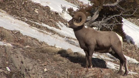 Bighorn Sheep Ram Male Adult Lone Stretching in Winter in Wyoming