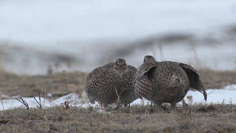 Sharp-tailed Grouse Male Adult Pair in Spring Standoff Display in South Dakota